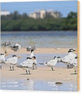 Terns At Fort Myers Wood Print