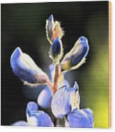 Texas Blue Bonnet Impressions 1 Wood Print