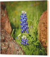 Texas Bluebonnet Wood Print by Jon Holiday