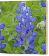 Texas Bluebonnets Wood Print