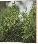 Texas Cedar Tree Wood Print