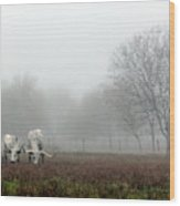 Texas Longhorns  Grazing On A Foggy Morning Wood Print