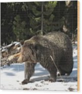 The American Grizzly Wood Print
