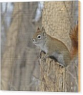 The American Red Squirrel Wood Print