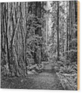 The Beautiful And Massive Giant Redwoods Wood Print