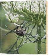 The Beetle Acrobat Wood Print