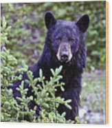 The Black Bear Stare Wood Print