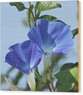 The Blue Morning Glory Wood Print