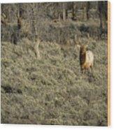 The Bull Elk Wood Print