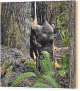 The Burly Bear Cub Close1 - Muir Woods National Monument - Marin County California Wood Print