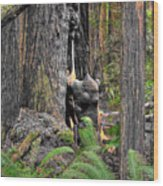 The Burly Bear Cub - Muir Woods National Monument - Marin County California Wood Print