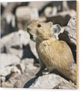 The Call Of The Pika Wood Print