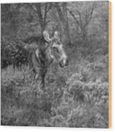 The Calm Of A Moose Bw Wood Print