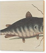 The Cat Fish (silurus Catus) Wood Print
