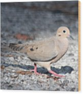 The Chipper Mourning Dove Wood Print