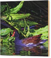 The Common Gallinule Wood Print