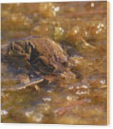 The Common Toads 2 Wood Print