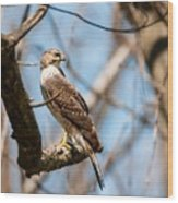 The Cooper's Hawk Wood Print