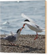 The Courtship Feeding - Series 2 Of 3 Wood Print