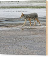 The Coyote - Dogs Are By Far More Dangerous Wood Print