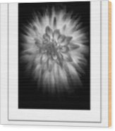 The Dahlia Bw Poster Wood Print