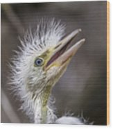 The Eager Great Egret Chick Wood Print