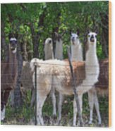 The Five Llamas Wood Print