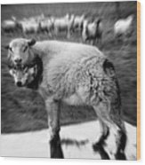 The Flock Is Safe Grayscale Wood Print