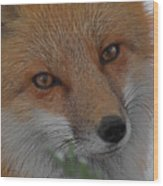 The Fox 4 Upclose Wood Print