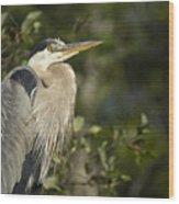 The Gaze - Great Blue Heron - Ardea Hernias Wood Print
