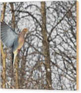 The Graceful Mourning Dove In-flight Wood Print