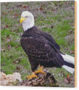 The Great Bald Eagle Wood Print