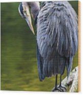 The Great Blue Heron Perched On A Tree Branch Preening Wood Print