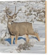 The Gtnp Mule Deer Buck Wood Print
