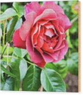 The Hot Cocoa Red Rose Wood Print