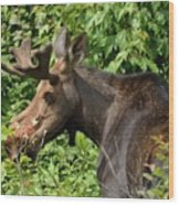 The Hungry Moose Wood Print