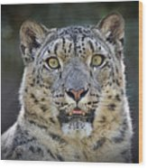 The Intense Stare Of A Snow Leopard Wood Print
