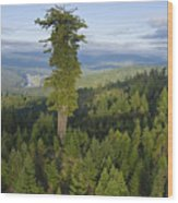 The Largest Patch Of Old Growth Redwood Wood Print