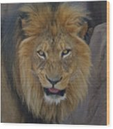The Lion Dry Brushed Wood Print