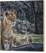 The Lioness Wood Print by Karol Livote