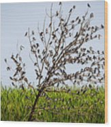 The More The Merrier- Tree Swallows  Wood Print