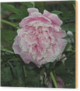 The Peony In Mears Park On A Rainy Day Wood Print