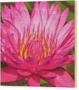 The Pinkest Of Pinks Wood Print by Lori Frisch