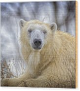 The Polar Bear Stare Wood Print