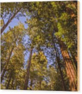 The Portola Redwood Forest Wood Print