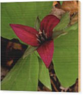 The Red Trillium Wood Print
