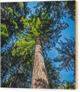 the Redwoods of Muir Woods Wood Print