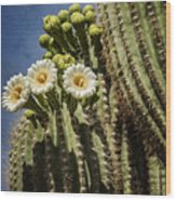 The Saguaro Cactus  Wood Print