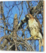 The Search Red Tail Hawk Art Wood Print