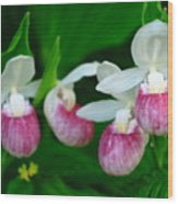 The Showy Ladyslipper Wood Print